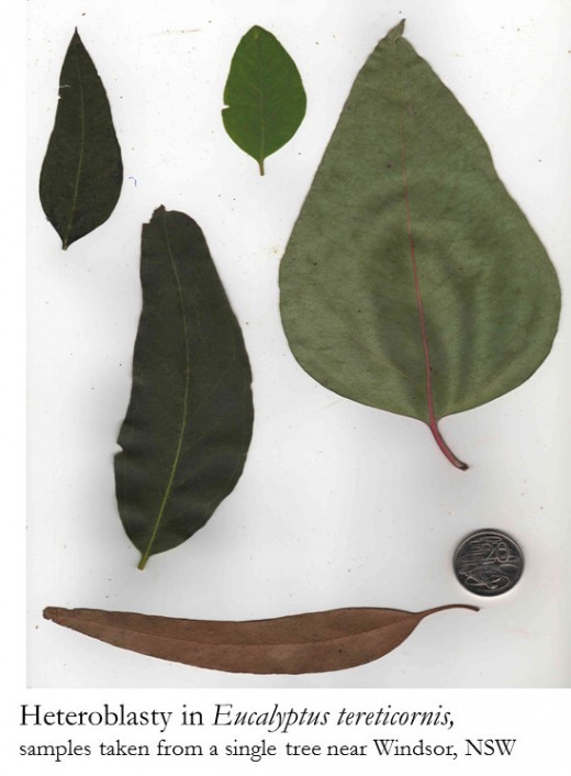 Different types of leaves grow a single eucalypt tree