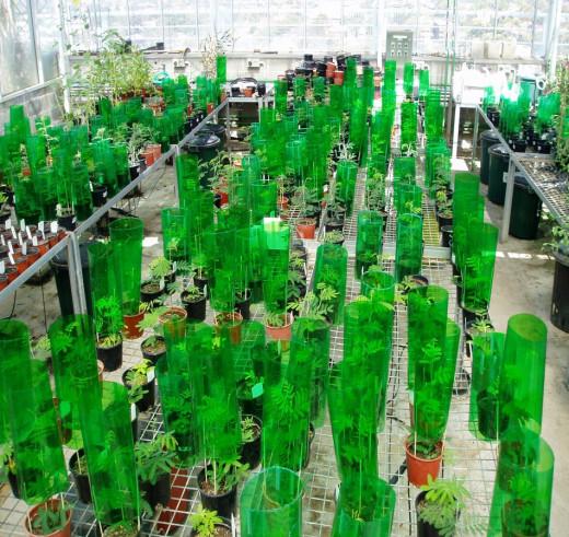 Glasshouse experiment on acacias and light