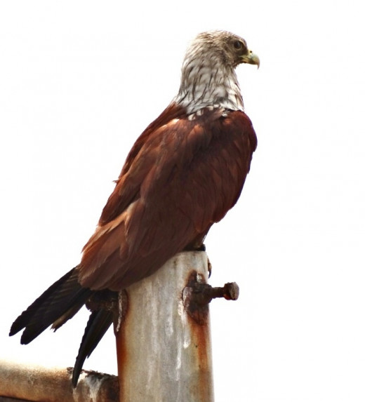 The Brahmini Kite is considered as the Earthy representative of Garuda