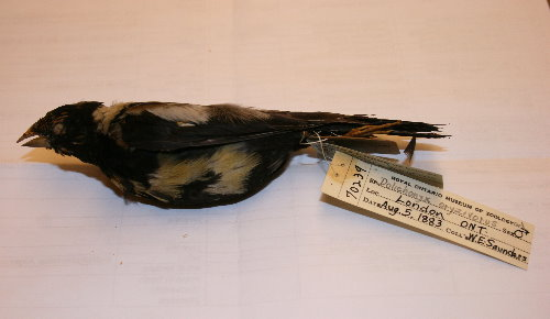 Bobolink Skin at Royal Ontario Museum