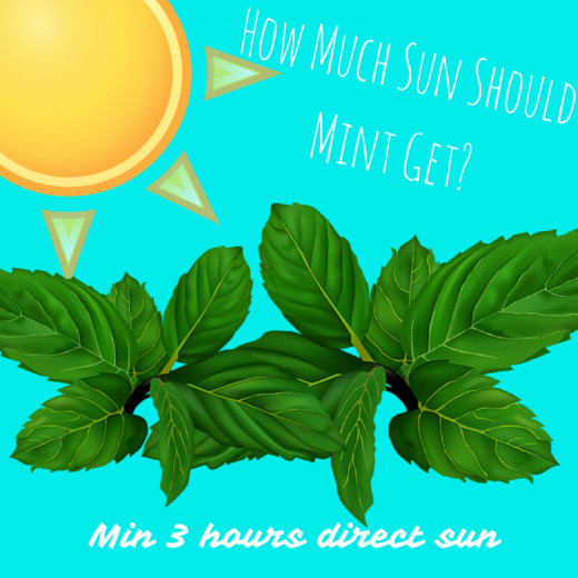 Mint can grow with as little as three hours of direct sunlight every day!
