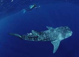 Off Cocos Island, a gigantic whale shark.