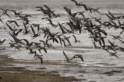 Alaska waterfowl.