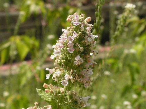 Catnip is an aromatic flowering herb in the mint family. Close herbal cousins include peppermint, oregano and basil