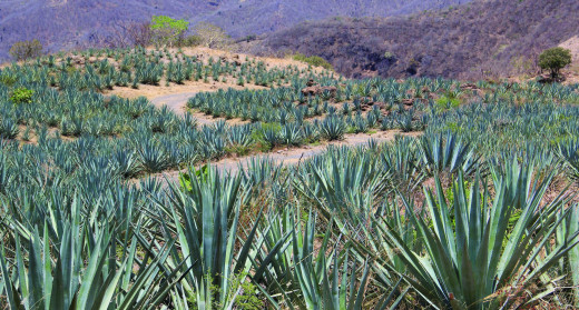A blue agave field near the town of Tequila in the Mexican state of Jalisco.