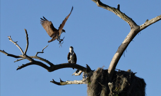 Osprey landing in the nest at Camp Echockotee by 159766 Dr. Tibor Duliskovich, via Wikimedia Commons