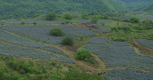 A hilltop view of blue agave fields, painted in patchwork, virtually guaranteeing a steady supply of the mescal called tequila.