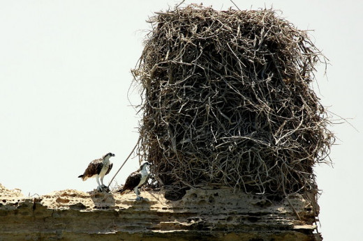 Ospreys with a huge nest. Photo by Shah Jahan (Own work) [CC BY 3.0 (http://creativecommons.org/licenses/by/3.0)], via Wikimedia Commons