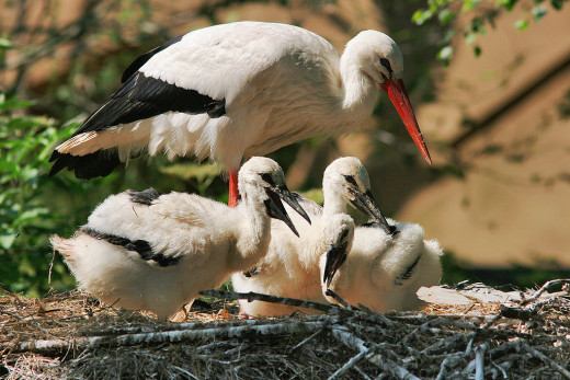 Both male and female storks will take turns watching over their young brood.
