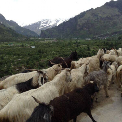 Cattle on the way to Solang Valley