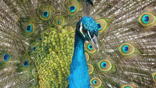 When negotiating the cost of a home, the asking price is like a peacock.