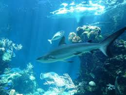 A shark floating about in Noumea Aquarium's 'giants of the sea' tank