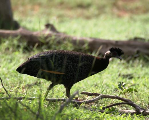 Crested Guinea-fowl