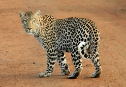 12 Differences Between Leopards and Cheetahs