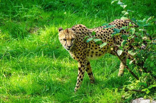 Cheetah walking on grassland