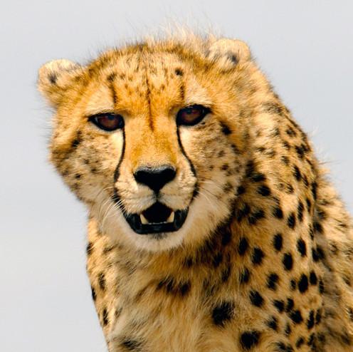 The Cheetah has tear lines