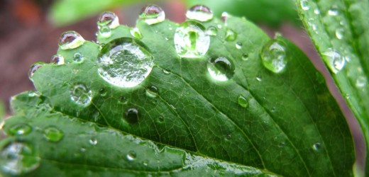Water beading up on a green leaf