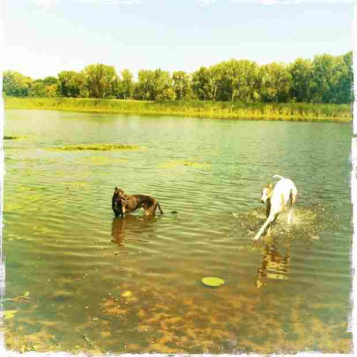 Dogs playing in contaminated water