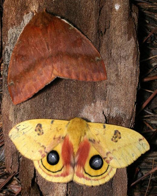 Moth Caterpillar Identification Chart: Furry Caterpillar Identification Guide