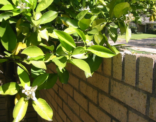 Orange tree foliage and blossoms next to a brick wall