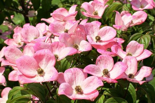 Missouri's flowering dogwood tree