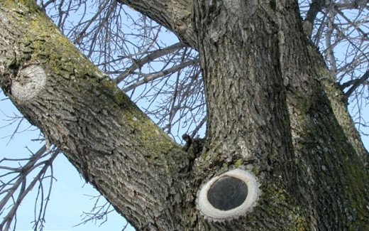 This shows a successful pruning to remove a branch. The cut has been sealed by callus cells and woundwood.