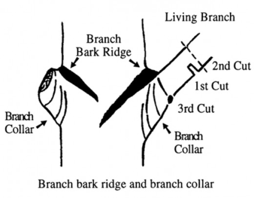 The collar area in the branch junction is crucial for successful pruning as it contains cells that compartmentalize and seal off damaged branches from the rest of the tree. multiple cuts are recommended to prevent any damage to the collar ares.