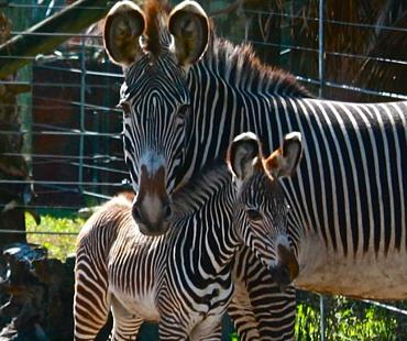 Zebras at Lowry Park Zoo