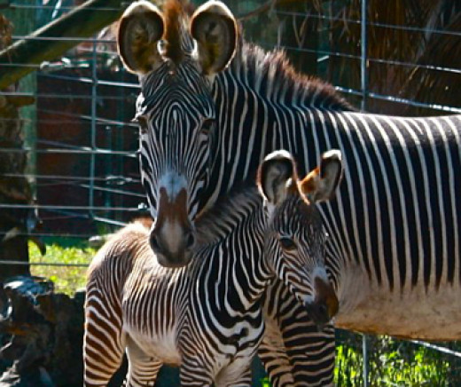 Zebras at Lowry Park Zoo