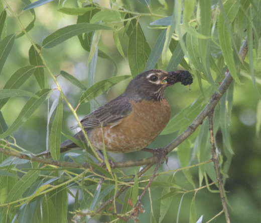 American Robin with Mulberries