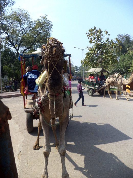 Camel Ride To The Taj Mahal, Agra