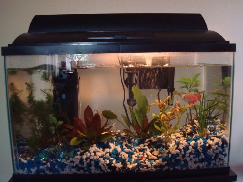 Poor Betta died, now one Gouramis lives in the 10 gallon tank;and the upside down catfish...somewhere