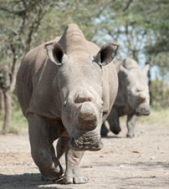 Want to See the Last White Rhinos?