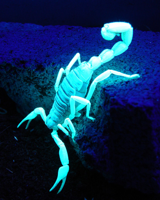 A scorpion glowing under ultraviolet light.
