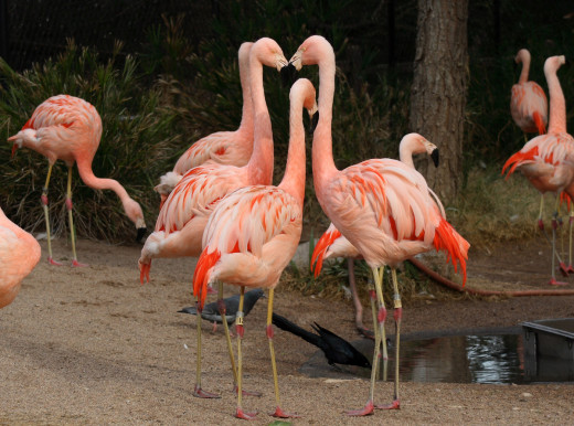 Flamingos, all permanently grounded.