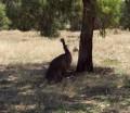 The Emu - A Flightless Bird