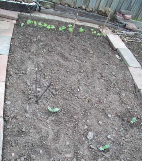 Seedlings coming up.