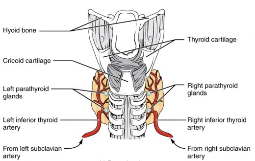 Back view of thyroid showing parathyroids