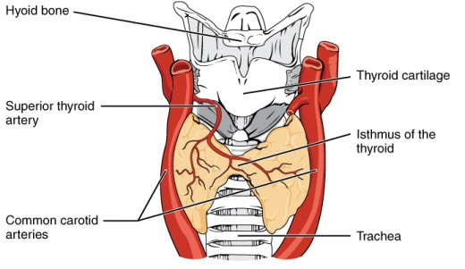 Front view of thyroid