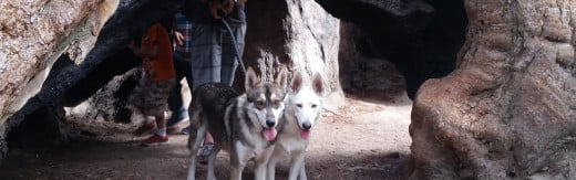 Two of man's best friends, Siberian Huskies