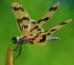Ulfolding the Mystery of Dragonflies