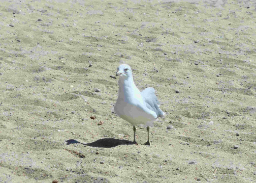 The beaches were empty except for the sea gulls searching for food.