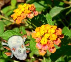 Poisonous Garden Plants: Daffodils, Lantana and Euphorbia