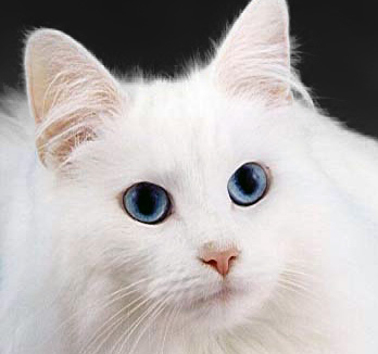 White cats with blue eyes have a higher incidence of deafness than other cats