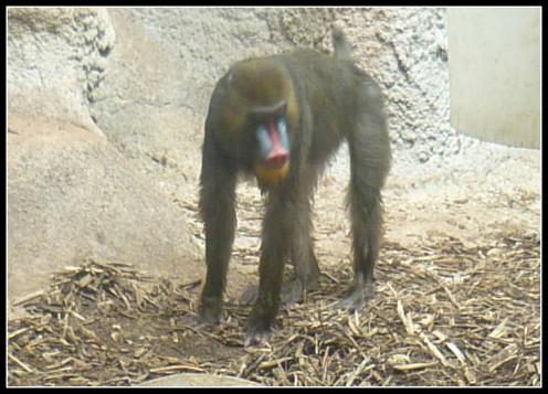 Mandrill Monkey