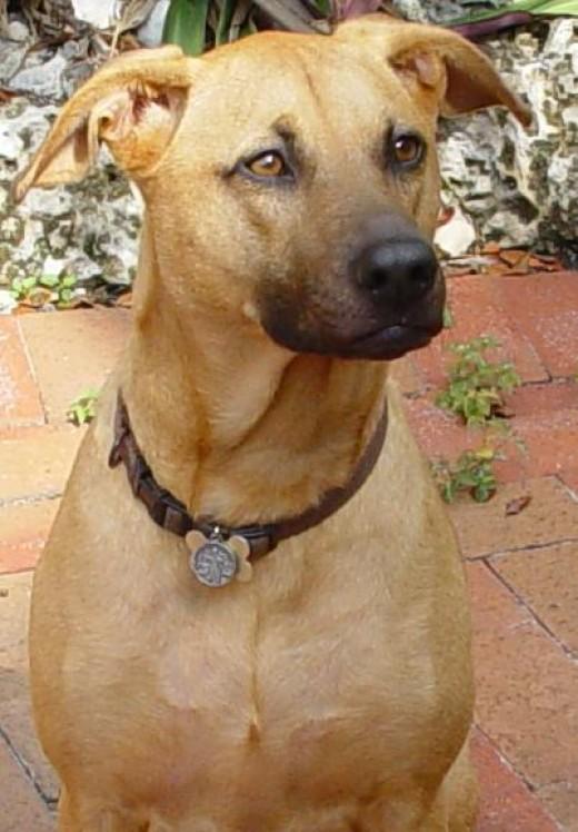 rajapalayam dogs indian breed Rajapalayam dog breed many rajapalayam dogs suffer from mange,  the rajapalayam dog was used during the carnatic wars and polygar war to.