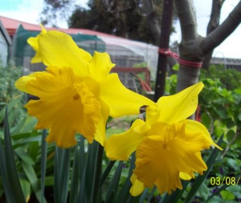 Bright Yellow Daffodils.