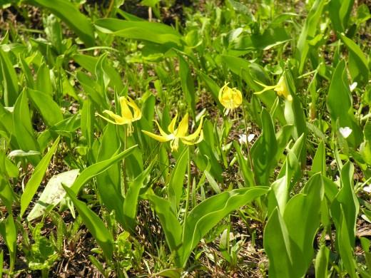 Alpine lilies.