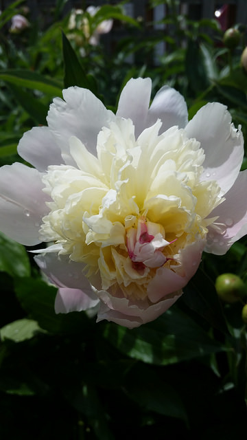 A white and yellow Peony flower