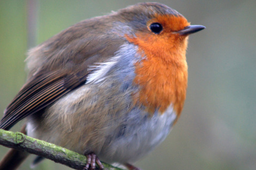 * The Robin Red-Breast. Recently voted Britain's First National Bird. *